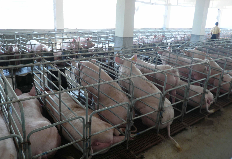 现代化小型猪场设计图